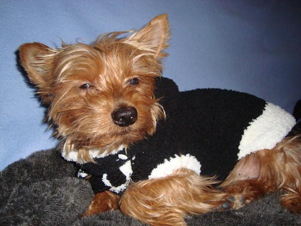 tricoter un pull pour yorkshire